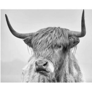 Highland Cow - Paint by Numbers for Sale