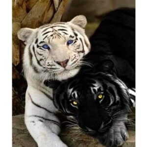 White and Black Tiger - Paint by Numbers