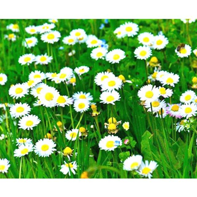 Field of Daisies - Paint by Numbers Kits Flowers