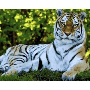 Relaxed Tiger - Paint by Numbers for Adults